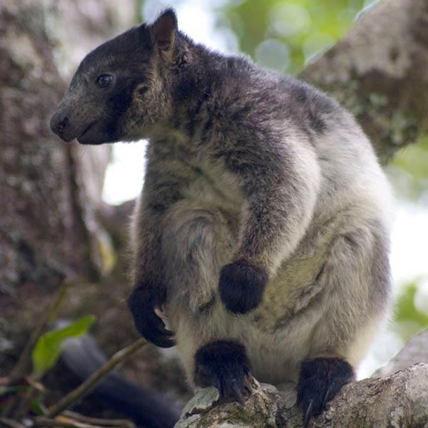 De grijze boomkangoeroe