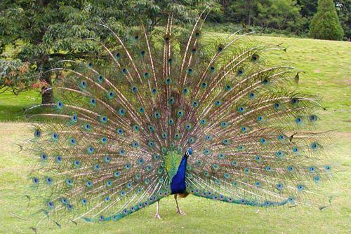 Unduh 430+  Gambar Burung Merak Di Indonesia HD Terbaru